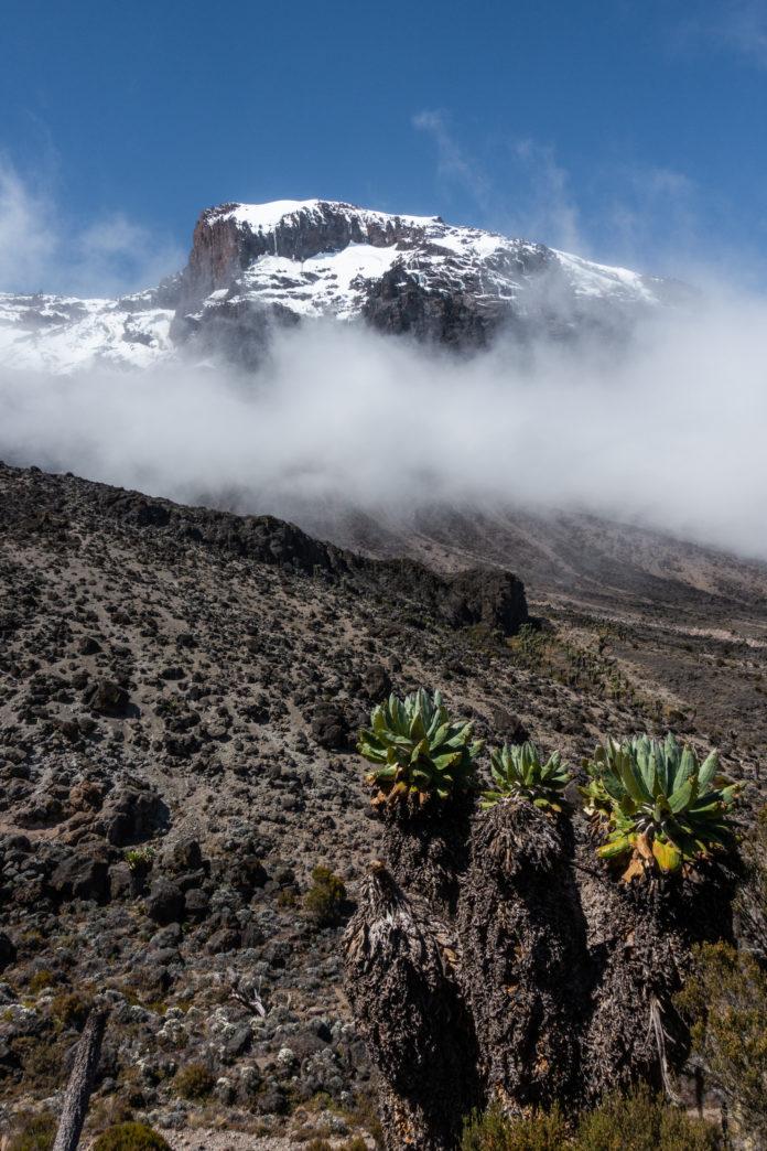 Interessante Pflanzen am Kilimanjaro